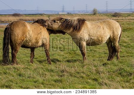 Photo Of A Pair Of Konik Wild Horses Scratching Each Other