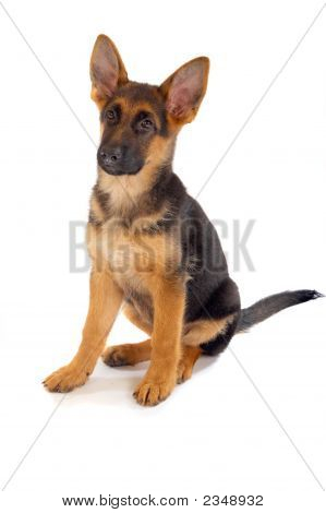 A view of a cute cuddly little golden and black German Shepard puppy isolated on a white background. poster