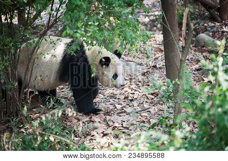 Giant Panda Walking In The Forest, Chengdu, China