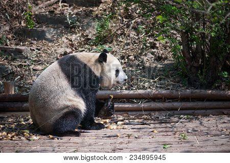 Giant Panda Eating Bamboo  Closeup, Chengdu, China