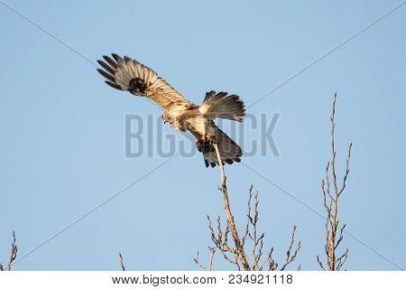 A Rough Legged Hawk At Bc Canada