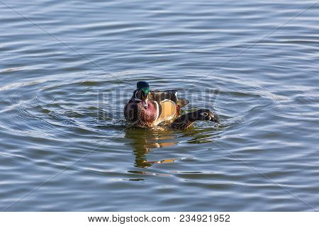 Male And Female Wood Duck Mating At Bc Canada
