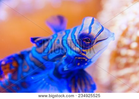 Blue Mandarin Fish In Coral At The Philippines Very Colourfull, Close-up. Stock Photo
