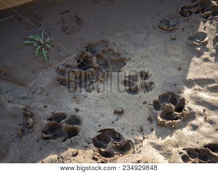 Dried Dog Pawprints In Mud And Shade
