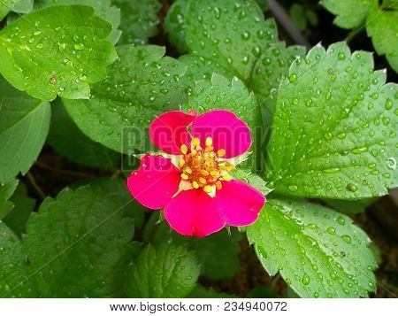 Beautiful Red Strawberry Flowers After Rain In The Garden