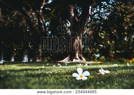 True Tilt-shift View Of The Two White Partly Dry Flowers Fallen From A Tropical Tree And Laying In T