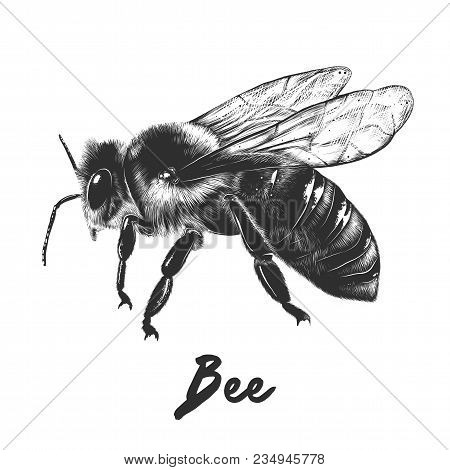 Vector Engraved Style Illustration For Posters, Decoration And Print. Hand Drawn Sketch Of Bee In Mo