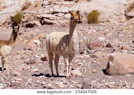 Chilean Llama Breeding On Andean Plateau, Chile
