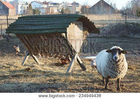 Sheep And Hens On The Family Farm