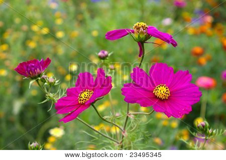 Close-up of pink cosmea