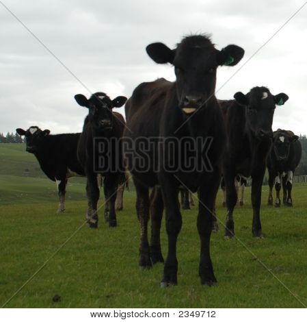 Cow Gang
