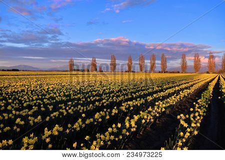 Spring Fields And Alley At Sunset.  Scenic View Of  Yellow Daffodil Fields In Full Bloom. Mount Vern