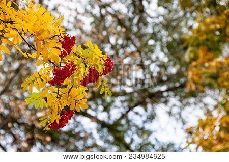Texture, Batskground. Autumn Laves Of-rowan Tray. Rovanberry, Sorbitol, Wild Ash, Drink, Rowan-tray.