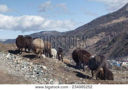 Mountain Landscape With Herd Of Sheep Graze On Green Pasture In The Mountains. Young White, Blsck An