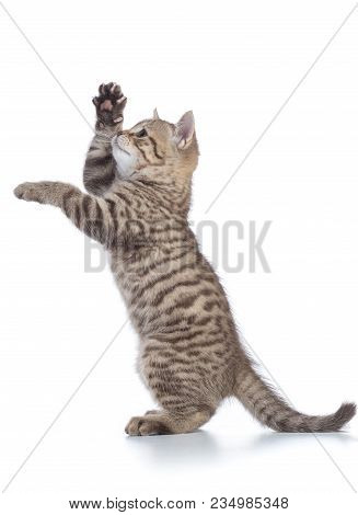 Playful Cat Standing On Hind Legs And Looking Forward. Side View, Isolated On White Background