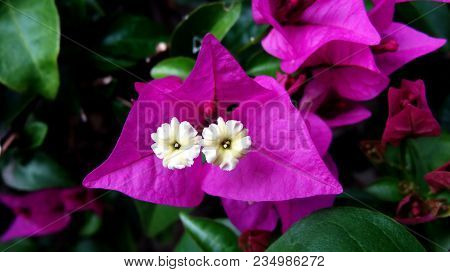 Bougainvillea Flowers Texture And Background. Purple Flowers Bougainvillea. Close-up View Of A Bouga