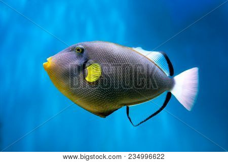 Photo Of Exclusive Triggerfish. High Resolution Photo.