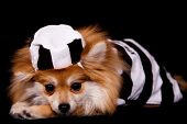 Horizontal portrait of a pet Pomeranian dressed in stripped prison garb. Isolated on black. poster