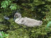 Beautiful young swan swimming in the pond poster