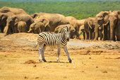 A zebra on the foreground and group of numerous elephants on the background. Addo Elephant National Park, Eastern Cape, South Africa. Summer season, sunny day. poster