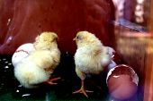 two little baby chicken which have just successfully gotten out of their egg shells ** Note: Slight graininess, best at smaller sizes poster