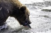 An Alaskan brown bear catches a salmon in the rapids of Brooks Falls poster