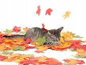 Cute tabby cat playing with colorful leaves on white background poster
