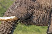 Extreme close up details of head face tusks Ears and trunk of African Elephant drinking water in Imfolozi-Hluhluwe Game Reserve in Zululand, KwaZulu Natal South Africa poster