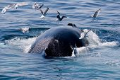Whale feeding near the eastern cost of the USA. Ocean. Wildlife observations. Whale watching. poster