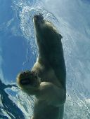 This photo captures the grace and grandeur of a polar bear while he moves through the water. poster
