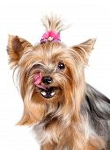 Yorkshire terrier dog licking its nose with his tongue isolated on white poster