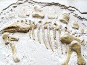 A Fossilized Dinosaur Bones on white blackground poster