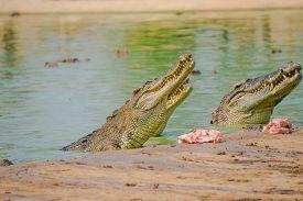 Crocodile In The Farm Is Eating Fresh Food