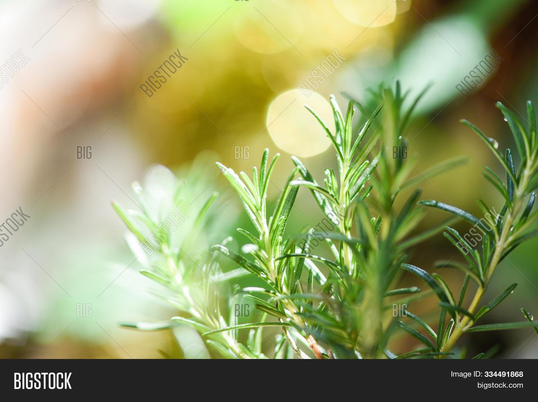 Organic Rosemary Plant Image Photo Free Trial Bigstock