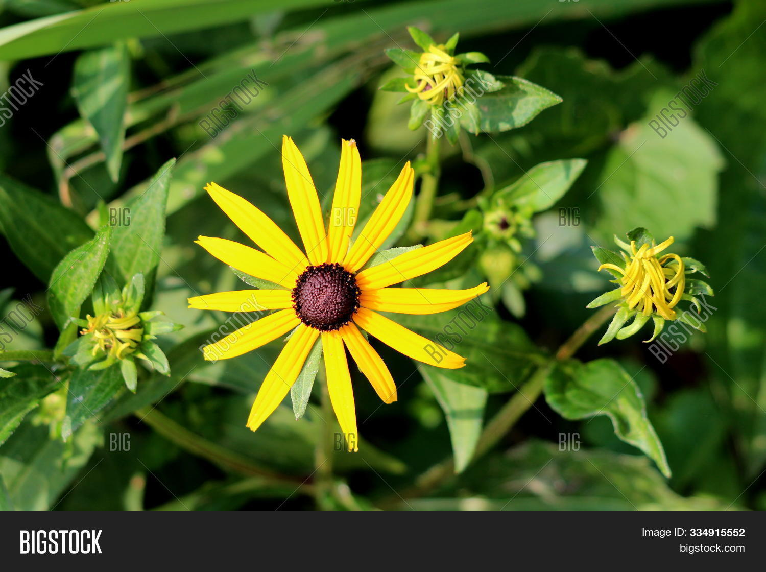 Black Eyed Susan Image Photo Free Trial Bigstock Deviantart is the world's largest online social community for artists and art enthusiasts, allowing people to connect through the creation and sharing of art. black eyed susan image photo free