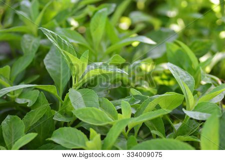 Longevity Spinach, Also Known As Gynura Procumbens, Is A Vegetable That Has Recently Become Exceedin