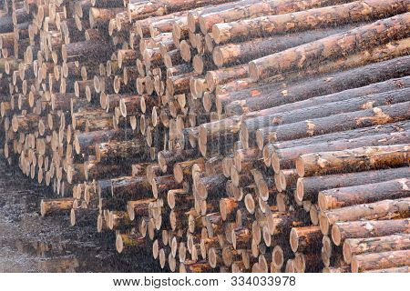 poster of Natural wooden logs cut and stacked in pile, felled by the logging timber industry. Pile of felled pine trees in the forest background.