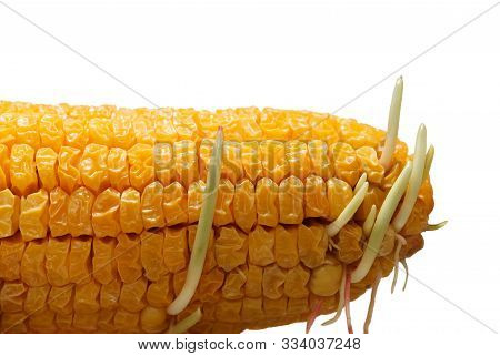 Germinating Maize Seeds In Old Corncob - New Life, Revival Concept, Isolated On White Background