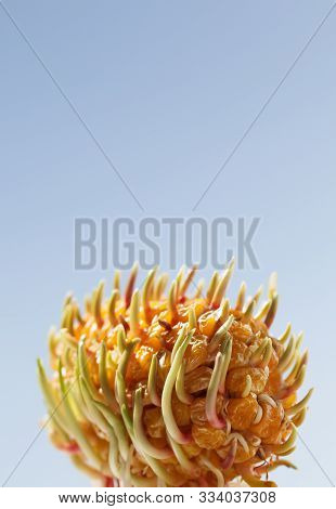 Macro Of Maize Germinate From Corncob. Renaissance Or New Growth From Old Concept. Vertical.