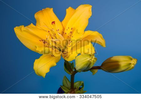 Close-up Of Yellow Lily Flower On Blue Background.