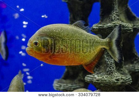 Red Bellied Piranha In Close Up, A Colorful Glittering Tropical Fish In The Colors Gold, Orange And