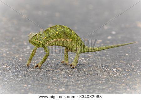 Flap-neck Chameleon (chamaeleo Dilepis) Crossing Road In Kruger National Park, South Africa