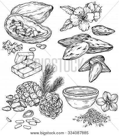 Vector Set Of Food And Cosmetic Care Ingredients. Organic Hand Drawn Cedar, Linseed, Almond, Cocoa B