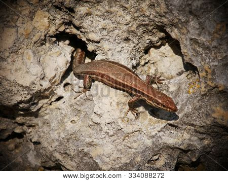 Wall Lizard Sunbathing In Weltenburg On The Rocks