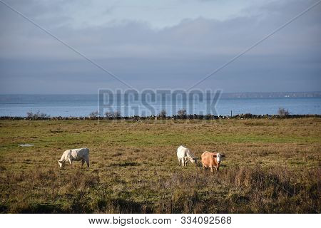Grazing Cattle By Fall Season In A Coastal Grassland In The Swedish Nature Reserve Beijershamn On Th