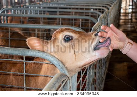 Portrait Of A Young Calf Licking A Hand