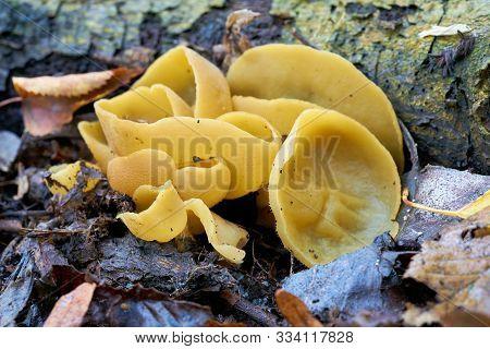 Cup Fungi (peziza Succosa) On The Forest Floor In Autumn