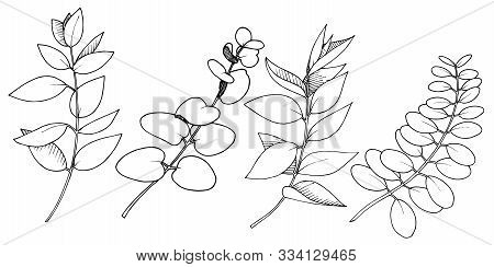 Vector Eucalyptus Leaves Branch. Black And White Engraved Ink Art. Isolated Branches Illustration El