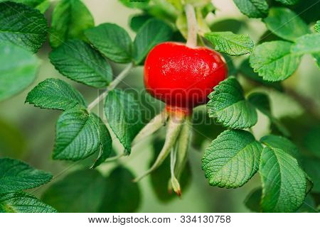 Close Up Red Rose Hip Or Rosehip. Rose Hips Contain Large Amounts Of Vitamins, Especially Vitamin C