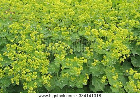Healing herbs plant Alchemilla vulgaris, Alchemilla Glaucescens, Alchemilla mollis, the garden lady's-mantle or lady's-mantle, is a genus of herbaceous perennial plants in the family Rosaceae. poster